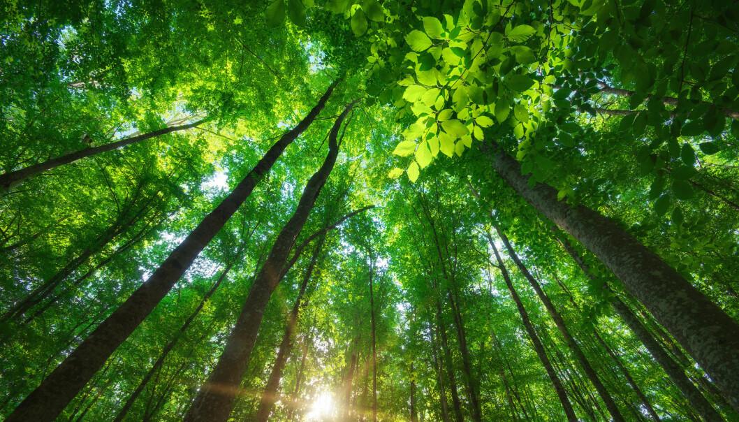 For å bekjempe klimaendringer er det mest effektivt å restaurere naturlig skog, viser forskere i ny studie. (Foto: djgis, Shutterstock, NTB scanpix)