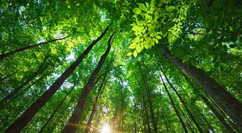 Forskere vil heller restaurere gammel skog enn å plante ny