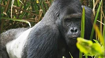 Gorillaene hardt rammet av borgerkrig