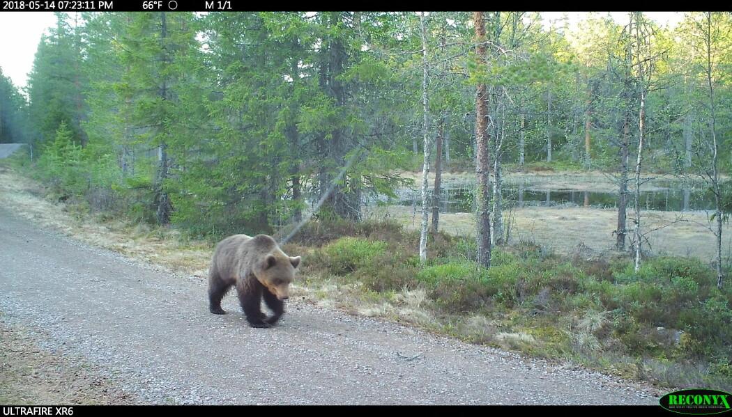 Bjørn på vandring forbi et viltkamera . Foto viltkamera.nina.no