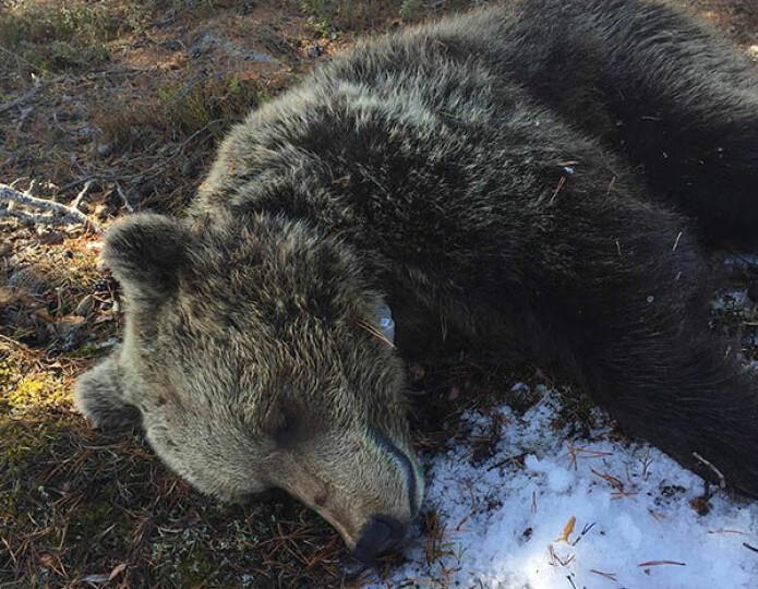 Den første bjørnen i prosjektet ble radiomerket 22. april og var en ung hunn på 66 kg som fikk navnet Tova. Foto: Bjørn- og tamreinprosjektet, NINA.