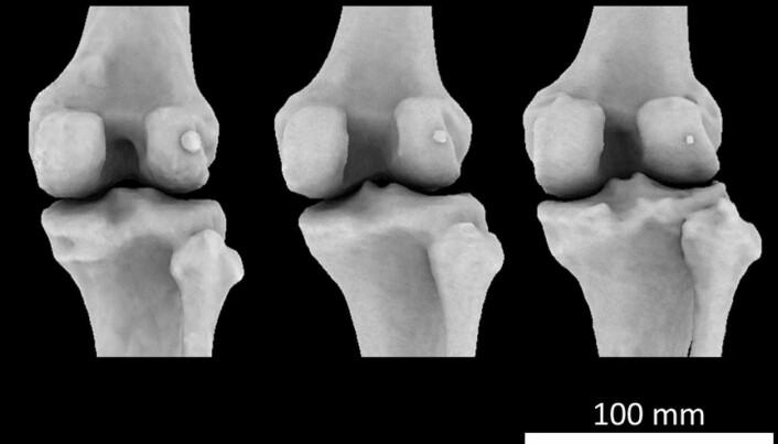 Her ser du tre knær med fabellaer i ulik størrelse. Fabellaen er den vortelignende knotten til høyre på nederst på lårbeinet. (Foto: Michael Berthaume/Imperial College London)