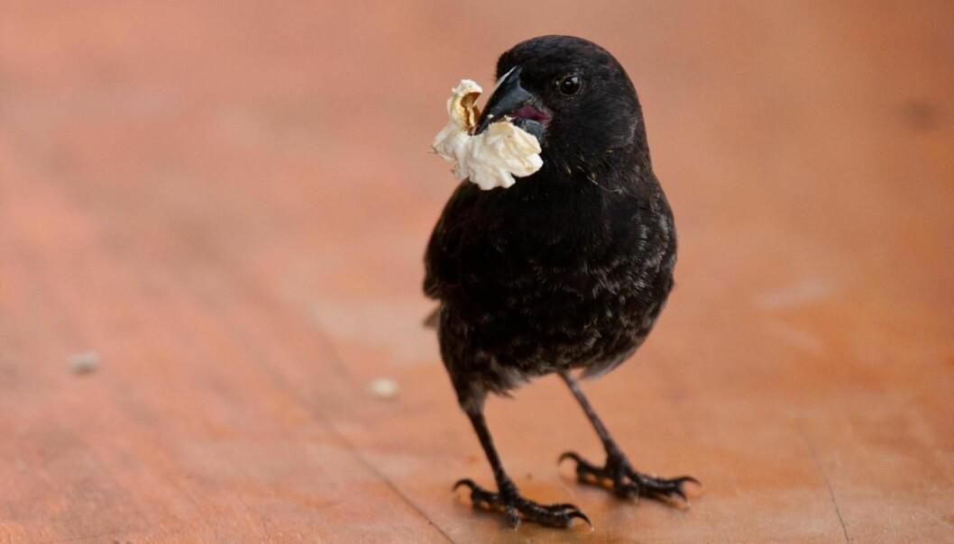 Menneskers mat kan påvirke tarmfloraen og kroppen til denne lille fyren å Galapagos. (Foto: Sarah Knutie)