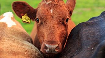 Forskeren forteller: Blyforgiftning hos kyr gir bly i melka