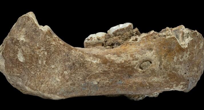 Dette er kjevebenet som forskerne har identifisert. Selve kjevebenet ble funnet i 1980, men det er først nå det har blitt undersøkt for DNA (Bilde: Dongju Zhang, Lanzhou University)
