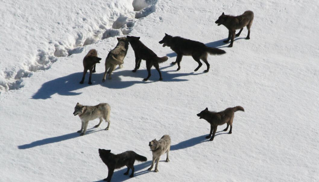 Ulver er et typisk rovdyr som både kan jakte alene og i flokk. Men når er det lurt å gjøre hva? Dette er en ulveflokk i Yellowstone. (Illustrasjonsbilde: Doug Smith/National Park Service)