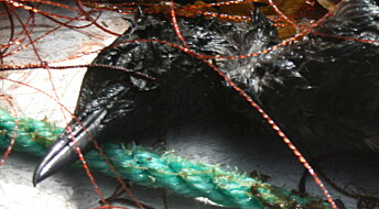 Flere tusen sjøfugl dør årlig i fiskegarn