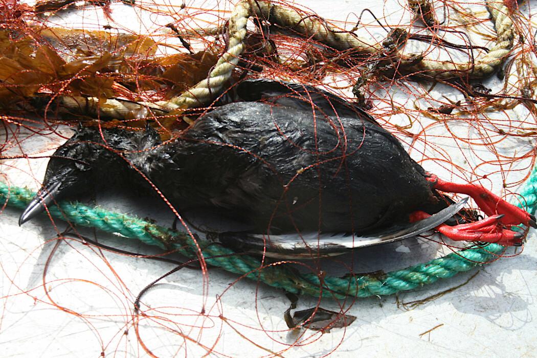 En teist har gått i garnet. Tusenvis av sjøfugl ender sine dager på denne måten under det kystnære garnfisket i Norge. (Foto: Kirstin Fangel, NINA)