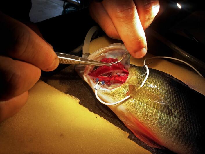 Hvordan måler du metabolismen hos abbor? Med veldig små sensorer. (Foto: Fredrik Jutfelt)