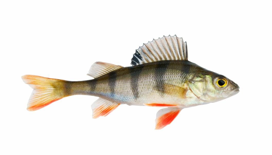 Fisk takler varme, men hetebølger dreper dem
