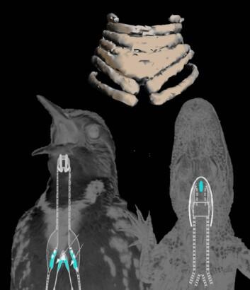 Øverst: Syrinksen fra fossilet av <em>Vegavis iaai </em>. Til venstre: Lyseblå felter viser hvor syrinksen er plassert hos fugler. Til høyre: Strupehodet (larynksen) til en krokodille i lyseblått. (Foto: (Illustrasjon: Julia Clarke, UT Austin))