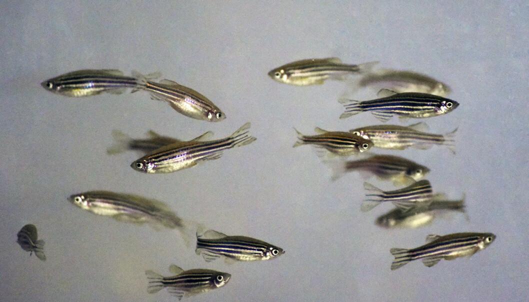 En artikkel om sebrafisk i avhandlingen som har blitt gransket for fusk viser akkurat det samme resultatet som grisestudien: Behandling med antibiotika får fiskens eget immunforsvar til å kjempe hardere. Problemet er at dataene til studien ikke finnes. (Foto: Ola Sæther)
