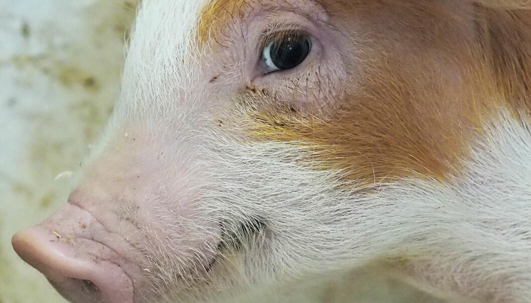 Kan antibiotika få grisenes eget immunforsvar til å kjempe hardere mot sykdomsbakteriene? Det tydet funnene i doktorgradsavhandlingen på. Funnet kan få stor betydning. Men var det et resultatet av vitenskapelig juks? Det mener noen av medforskerne, men ikke NMBU. (Foto: Ola Sæther)