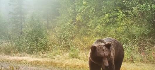 Bjørnene er ute av hiet