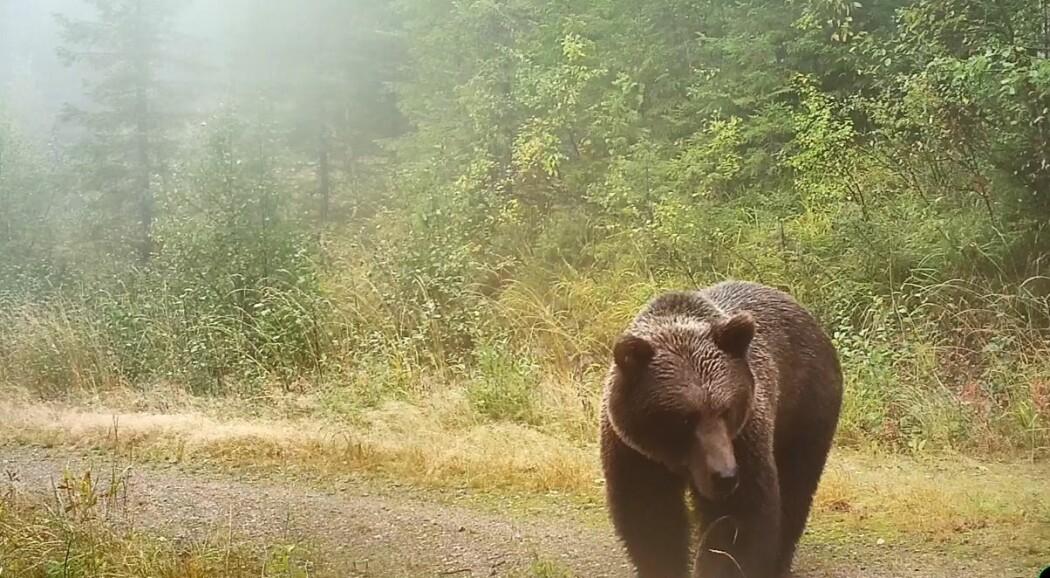 En bjørn passerer viltkamera i Østerdalen. Foto viltkamera.nina.no
