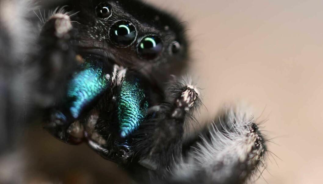 Denne hoppeedderkoppen av arten <em>Phidippus audax</em> har vært til hørsels- og synstest i forskernes laboratorium. (Foto: Gil Menda, The Hoy lab)