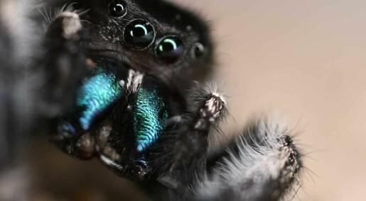 Edderkopper hører langt bedre enn antatt