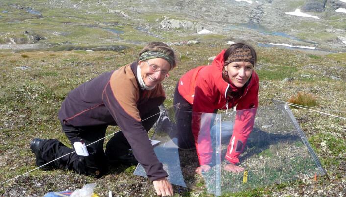 Her er Kari Klanderud og Ivana Molovcakova frå NMBU i gang med feltarbeid på planter høyt til fjells på Finse. (Foto: privat)