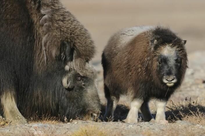 Kalvene minner ifølge Mikkel Stelvig om en søt Disney-figur. Dessverre har kalvene trange kår under det voldsomme været i Arktis. På forskernes ekspedisjon i 2015 hadde ingen kalver overlevd vinteren. (Foto: Lars Holst Hansen)