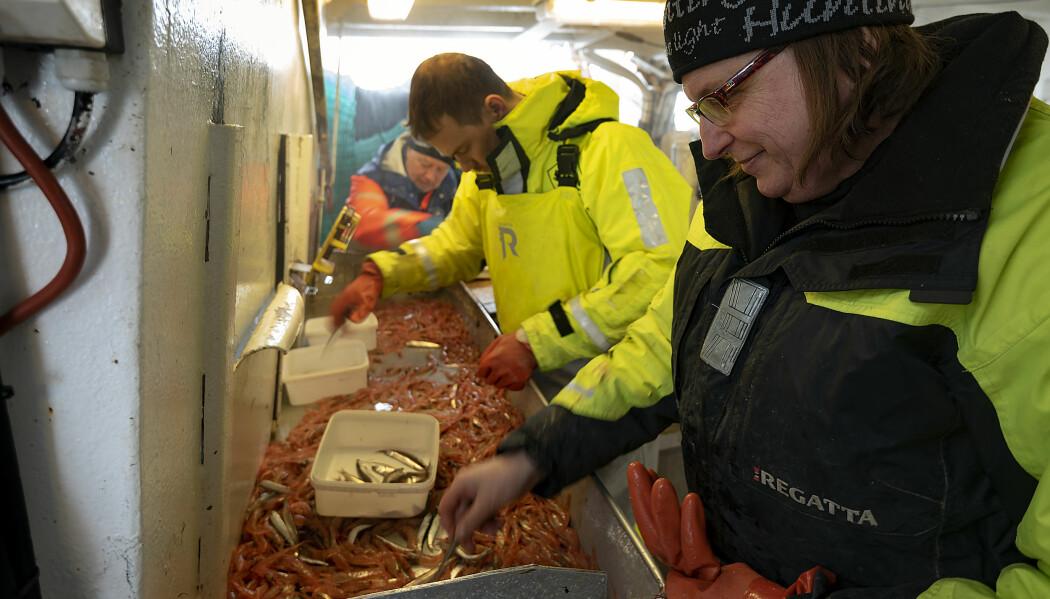 Trude Hauge Thangstad, Fabian Zimmermann og Kjell Nedreaas sorterer reker fra ett av tråtrekkene. (Foto: Gunnar Sætra / Havforskningsinstituttet)