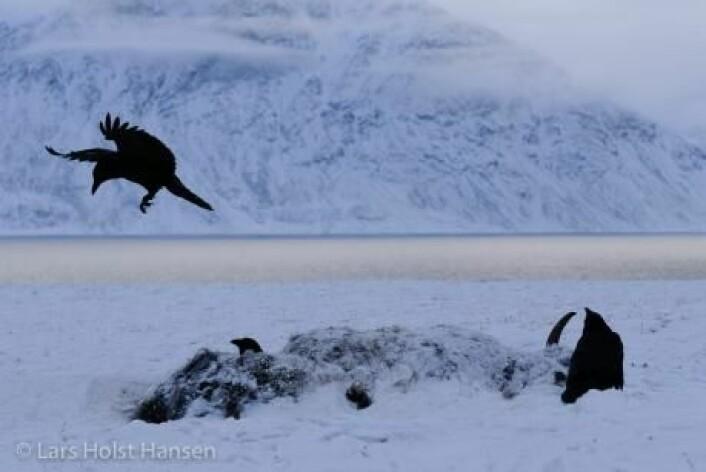 Varmere vær kan gjøre det mulig for parasitter å overleve i Arktis. Og det kan skape helt nye sykdommer hos moskusoksene. (Foto: Lars Holst Hansen)