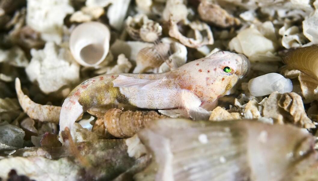 Det er ikke lett å få øye på Europas minste fisk, småkutling. (Foto: Rudolf Svensen, UWPhoto, https://creativecommons.org/licenses/by/4.0/deed.no)