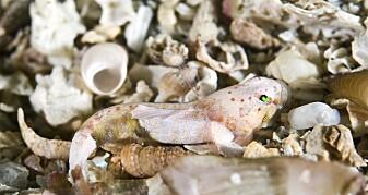 Her er Europas minste fisk
