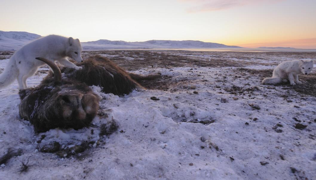 Moskusoksene kan vandre ekstremt langt. Men hvis Arktis langsomt smelter, har de til slutt ingen steder å gå, forklarer Niels Martin Schmidt.  (Foto: Lars Holst Hansen)