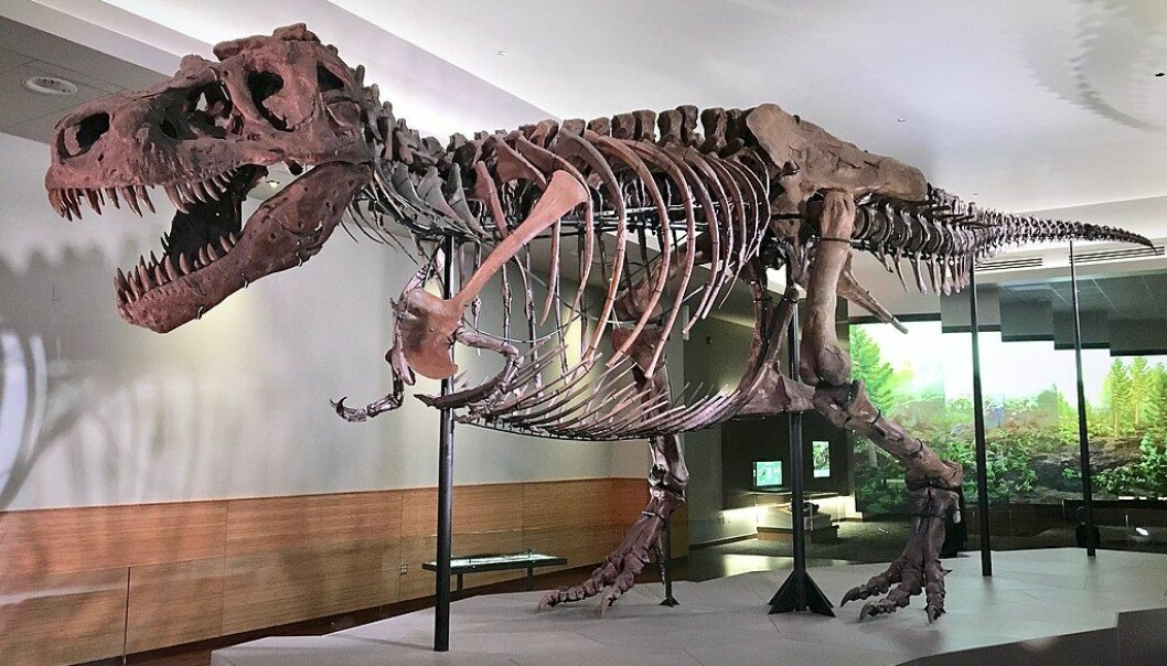 Den mer kjente etterkommeren, Tyrannosaurus Rex. Denne står i Chicago (Bilde: Zissoudisctrucker/CC BY-SA 4.0)