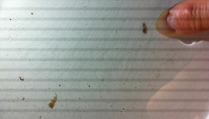To småkutlinger i en bolle med vann. (Foto: Rudolf Svensen, UWPhoto, https://creativecommons.org/licenses/by/4.0/deed.no)