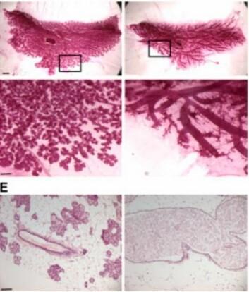 Bildene viser mus som er 18 dager på vei med nytt musekull. De to bildene til venstre viser mus som har fått fjernet proteinet Rac1 og dermed fått sterkt reduserte alveoler (celler som produserer melk). Rac1 er avgjørende både for produksjon av melk og opprydding av restene fra forrige kulls melkeproduksjon. (Foto: Developmental Cell)