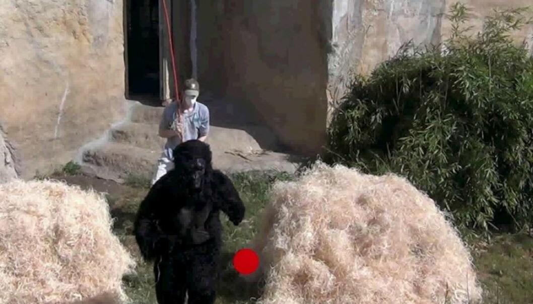 Mann med munnbind jager gorilla med stokk. Utdrag fra komikveld i apehuset i dyrehagen. (Skjermdump fra video: Christopher Krupenye, Fumihiro Kano, MPI-EVA, Kumamoto Sanctuary)