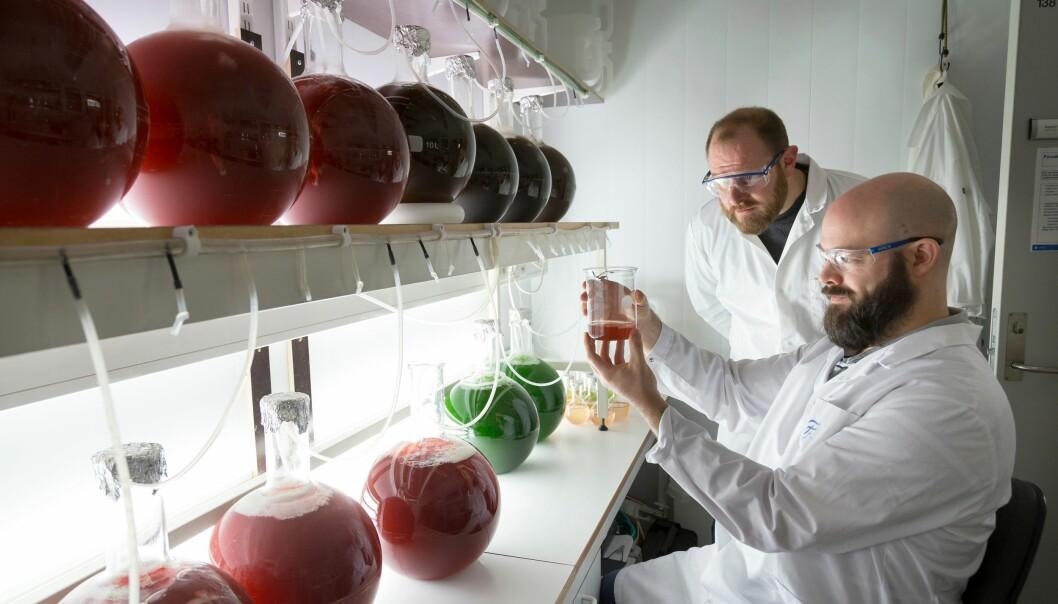 Forsker Andy Booth ( bakerst) og NTNU-partner Iurgi Zabalegui i laben, der de dyrker ulike alger som senere skal eksponeres for mikroplast. (Foto: Sintef)