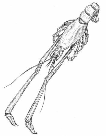 Illustrasjon av krepsdyret Mecochirus longimanatus, inspirasjon hentet fra Barthel mfl. (1990) (Foto: (Illustrasjon: Eirik Aasmo Finne))