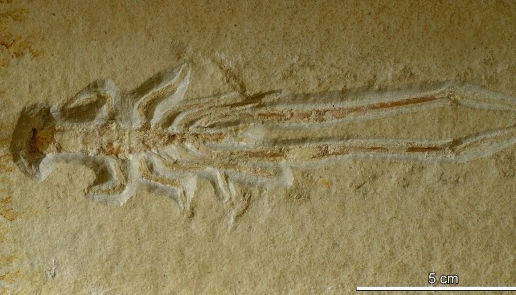 I dag er krepsdyret Mecochirus longimanatus er utstilt ved Naturhistorisk museum, men veien dit har vært lang.  Universitetet i Oslo.  (Foto: Hans Arne Nakrem / Naturhistorisk museum)