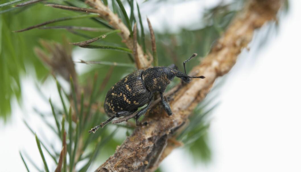 Om våren, og tidlig på sommeren, svermer de voksne gransnutebillene til nyplantede hogstflater. Og det er grantrærne selv som tiltrekker seg billene. (Foto: Erling Fløistad)
