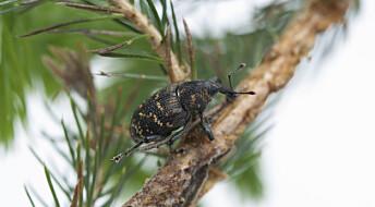 Snutebilla gnager mindre på grantrær tidlig om høsten