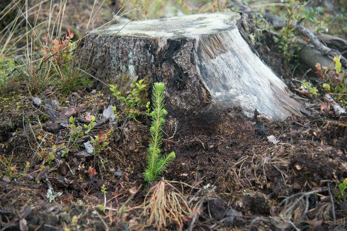 Granstubben som står igjen etter nykappede trær avgir spesielle duftstoffer som trekker de svermende gransnutebillene til seg. (Foto: Erling Fløistad)