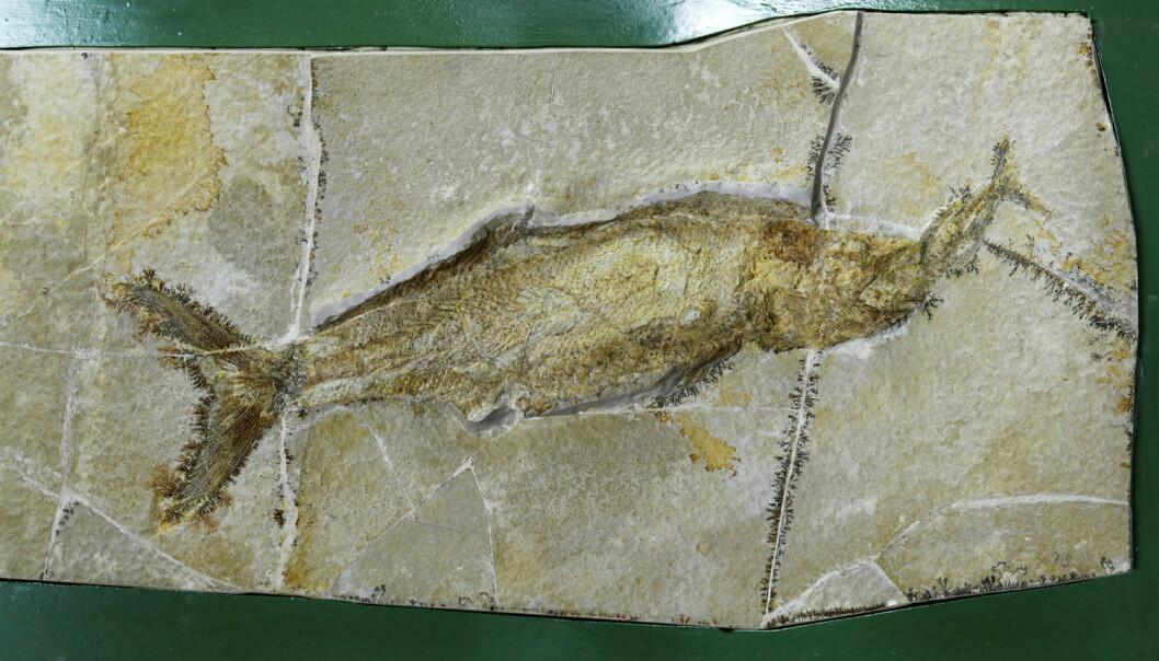 De ekte beinfiskene har ikke alltid vært havets vinnere. Her blir en spist av en holostei. [Foto: Werner Otto / AGE / NTB scanpix]