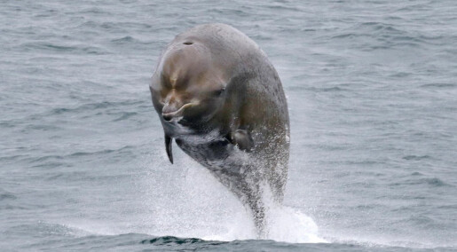 Sonar-forsøk på hval ved Jan Mayen: Nebbhvaler reagerer voldsomt på militære ubåtjakt-sonarer