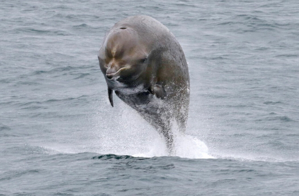Nebbhvaler er smarte dyr med god hørsel. Forskere har undersøkt teorier om at hvalene blir påvirket av menneskeskapt støy. (Foto: Sanna Isojunno, Nebbhvaler2, CC BY 4.0)
