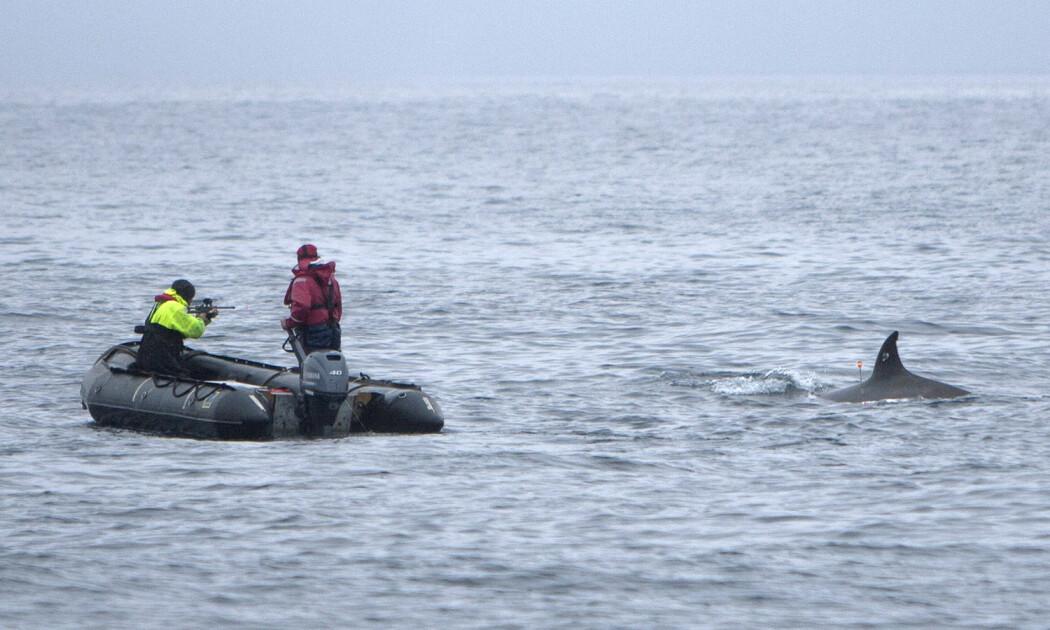 """Forskerne brukte spesialbygde våpen til å feste sugekopper eller små satelittsendere på hvalene, før sonar-forsøkene startet. (Foto: Joanna Kershaw, 3S Project, <a href=""""https://titan.uio.no/node/3303"""">Nebbhvaler1</a>, <a href=""""http://creativecommons.org/licenses/by/4.0/deed.no"""">CC BY 4.0</a>)"""
