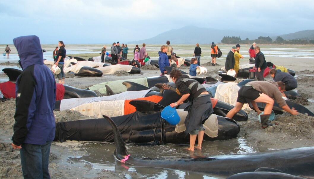 Hvalstrandinger er ikke et nytt fenomen: Denne flokken med grindhvaler gikk på land på New Zealand i desember 2005. Tilstrømmende hval-venner forsøkte å dynke dem med saltvann for å unngå at de skulle få for høy kroppstemperatur. (Foto: By Chagai, Wikipedia Commons)