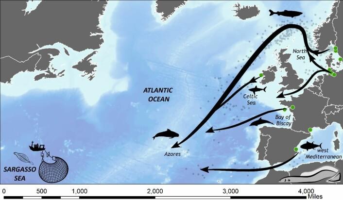 Halvveis til Sargasso. Forskerne har fanget, merket og sluppet ål fra kysten av Sverige, Frankrike, Tyskland, Spania og Irland. Og kartlagt hovedrutene fra Europa til Azorene. Studien viser også at halvparten av ålen aldri når bestemmelsesstedet.  Predasjonstrykket er størst langs kysten, der delfiner, hai, eller annen rovfisk venter. En andel blir også spist av hval i havdypet. (Foto: (Illustrasjon: David Righton, Cefas))