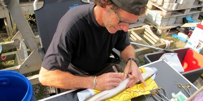 Finn Økland fester et datalagringsmerke på en vandreklar blankål. Ålen bedøves før den får merket implantert. (Foto: Finn Økland / NINA)