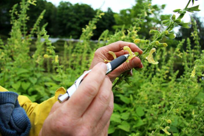 Denne salvie-arten er en representant for leppeblomstfamilien – en svært spesialisert art. Et insekt som skal klare å få tak i nektar i bunnen av blomsten, må ha ei lang og smal tunge. Insektet dytter da på et «stempel», her illustrert ved hjelp av ei penn, og da skjer avsetningen av pollen på én bestemt liten flekk på insektets kropp. (Foto: Grete Wolden / NTNU)