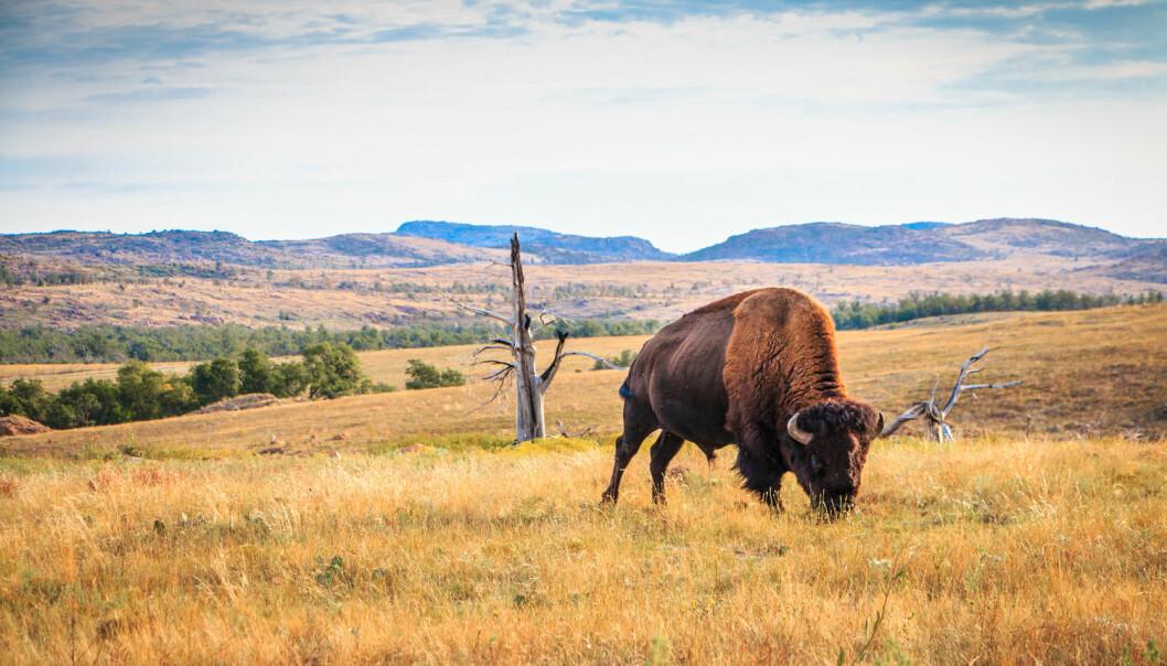 Jorda på prærien inneholdt gener for antibiotikaresistens, ifølge ny forskning. Her gresser en bisonokse på prærien i Oklahoma, USA. (Foto: angie oxley, Shutterstock, NTB scanpix)