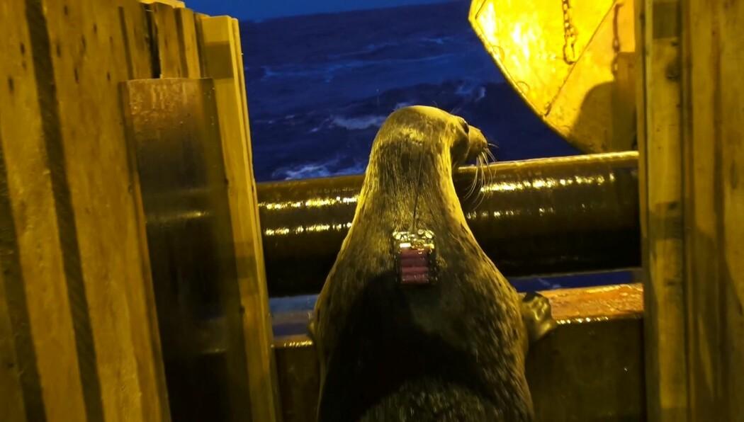 Skinny ser ut på Barentshavet der hun snart skal slippes fri, etter to og et halvt år i fangenskap. (Foto: Roger Larsen)