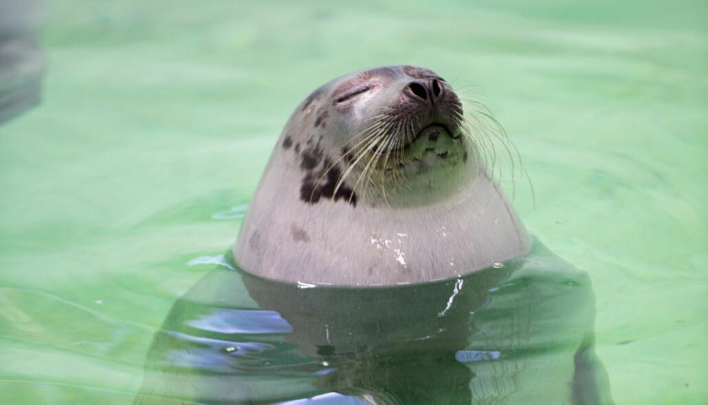 Selene tilbragte mye av tiden i basseng på UiT. Forskerne var opptatt av at selene skulle ha god livskvalitet. (Foto: Torbein Kvil Gamst)