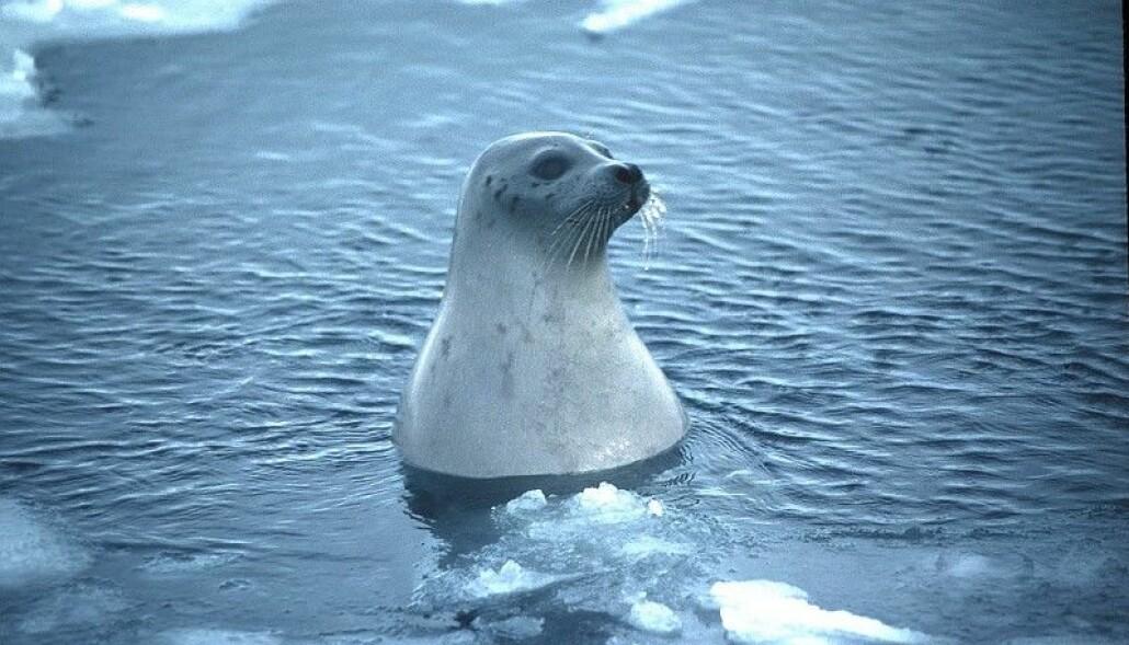 Grønlandsselen i sitt naturlige element. (Foto: Jo Jorem Aarseth)